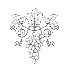 Grapes bunches image vector