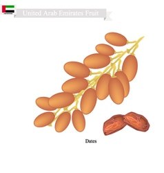 Dates fruit popular fruit in united arab emirates vector
