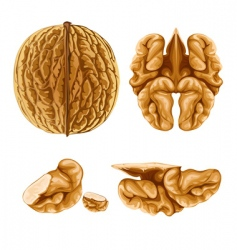 walnut nut with shell vector image vector image