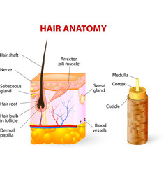 Hair anatomy diagram vector image