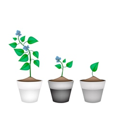 Winged beans plants in ceramic flower pots vector