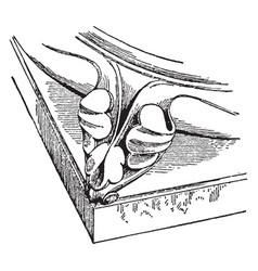 Griffe vzelay vintage engraving vector