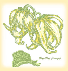 Plant ylang-ylang cananga vector