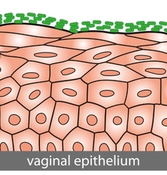 Vaginal Epithelium vector image vector image