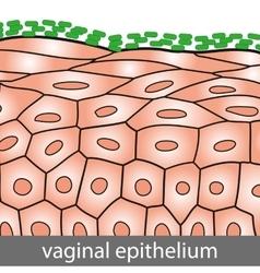 Vaginal epithelium vector