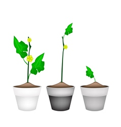 Ridged gorud plant in ceramic flower pots vector