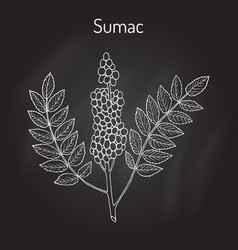 Sicilian sumac rhus glabra branch with leaves and vector