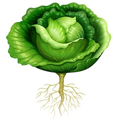 Fresh cabbage with roots vector