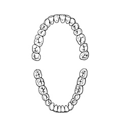 teeth vector image