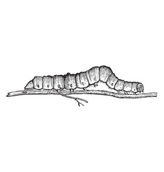Larvae of catocala fraxini vintage vector