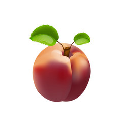 nectarine isolated vector image