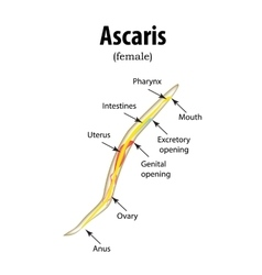 The structure of the roundworm Ascaris vector image