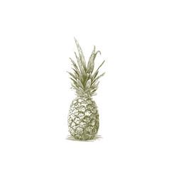 woodcut pineapple vector image vector image