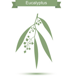 Eucalyptus isolated on white background vector