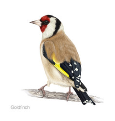 goldfinch hand drawn vector image
