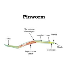 The structure of pinworms pinworm vector