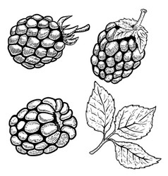 Set of hand drawn raspberries isolated on white vector