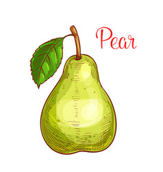 Green pear fruit with leaf isolated sketch vector