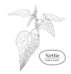 Sketch of a young branch of nettle Medicinal and vector image