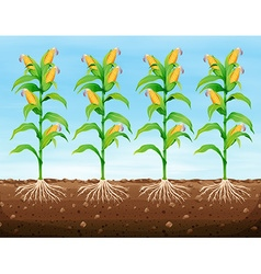 Corn planting on the ground vector