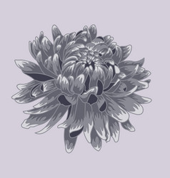 blue pastel colored chrysanthemum vector image vector image