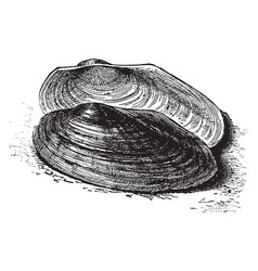 River mussel vintage vector
