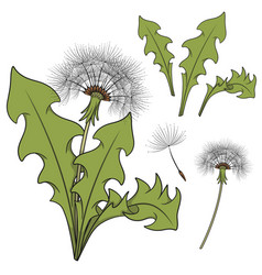 set of color images with a dandelion vector image