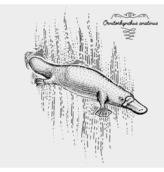 Platypus engraved hand drawn vector
