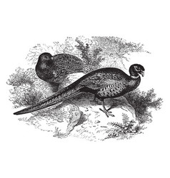 Ring necked pheasant vintage vector