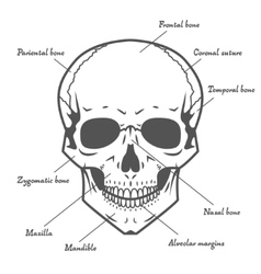 Skull anatomy at white background vector