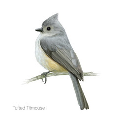 tufted titmouse vector image vector image