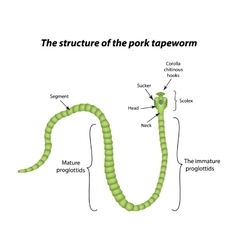 The structure of the pork tapeworm vector