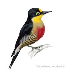 Yellow fronted woodpecker vector