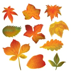 Autumn leaves set on the white background vector image