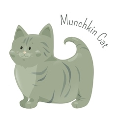 Munchkin cat isolated very short legs type vector