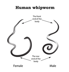 Whipworm structure whipworm females the vector