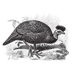 Crested guineafowl vintage vector