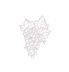 Grape vine hand drawn realistic sketch vector