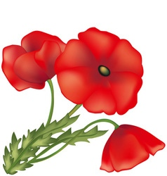 poppy flower vector image vector image