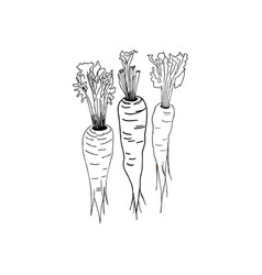 carrots hand drawing style vector image