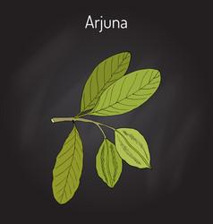 Arjuna terminalia arjuna or arjun tree kumbuk vector