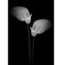 Calla flowers on black background vector