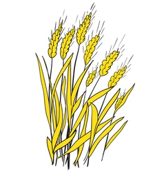 Spikes of ripe wheat vector