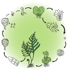 The life cycle of a fern vector image
