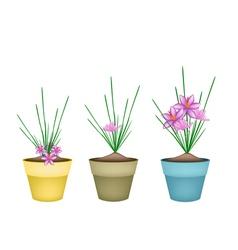 Crocus sativus plants in ceramic flower pots vector