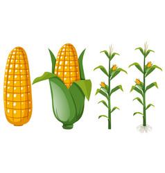 fresh corns on the tree vector image