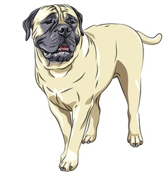 Domestic dog breed bullmastiff stands vector