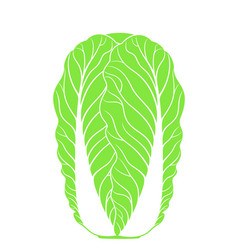 chinese cabbage isolated cabbage on white vector image