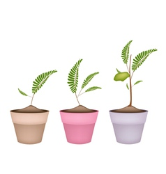 Chick peas plant in ceramic flower pots vector
