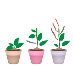 Kidney bean plant in ceramic flower pots vector